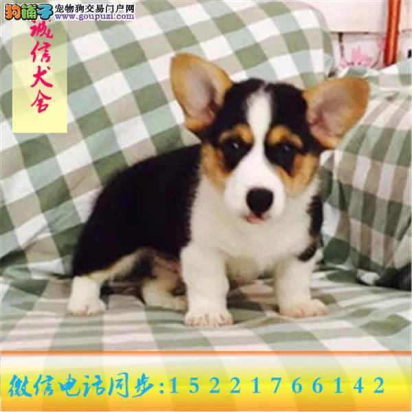 微信同步15221766142 24小时在线 专业出售 柯基犬