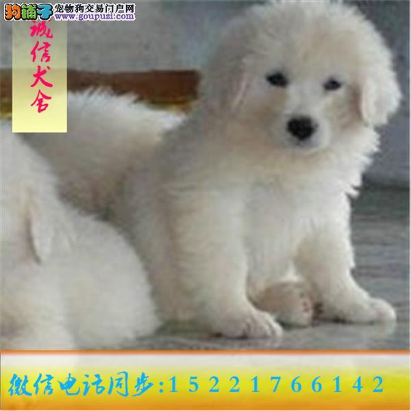 微信:15221766142自家繁殖出售大白熊 24小时服务
