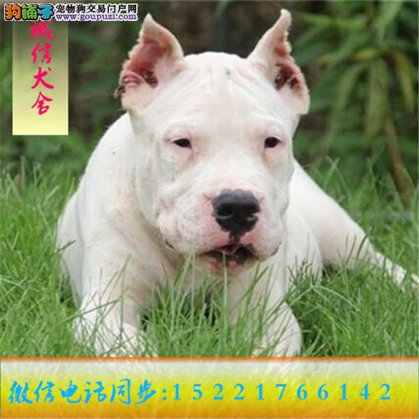 微信同步15221766142 24小时在线 专业出售 杜高犬