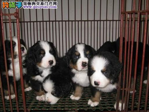 云南伯恩山犬养殖基地 云南狗场伯恩山小狗、幼犬出售