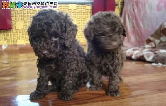 哈尔滨地区出售玩具体泰迪幼犬