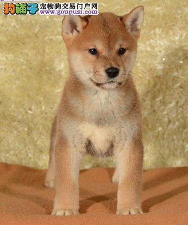 出售纯种健康的济南柴犬幼犬品质保障可全国送货