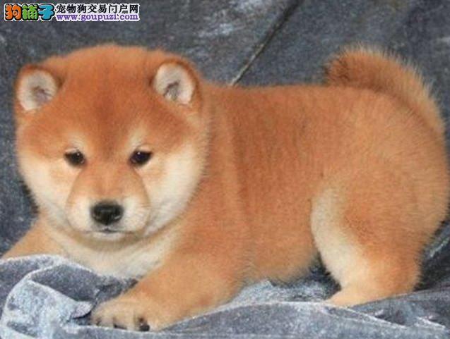 颜色全品相佳的柴犬纯种宝宝热卖中全国送货上门