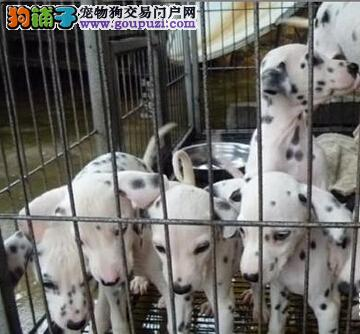 昆明本地斑点狗幼犬出售 昆明狗场的斑点犬小狗 要的来