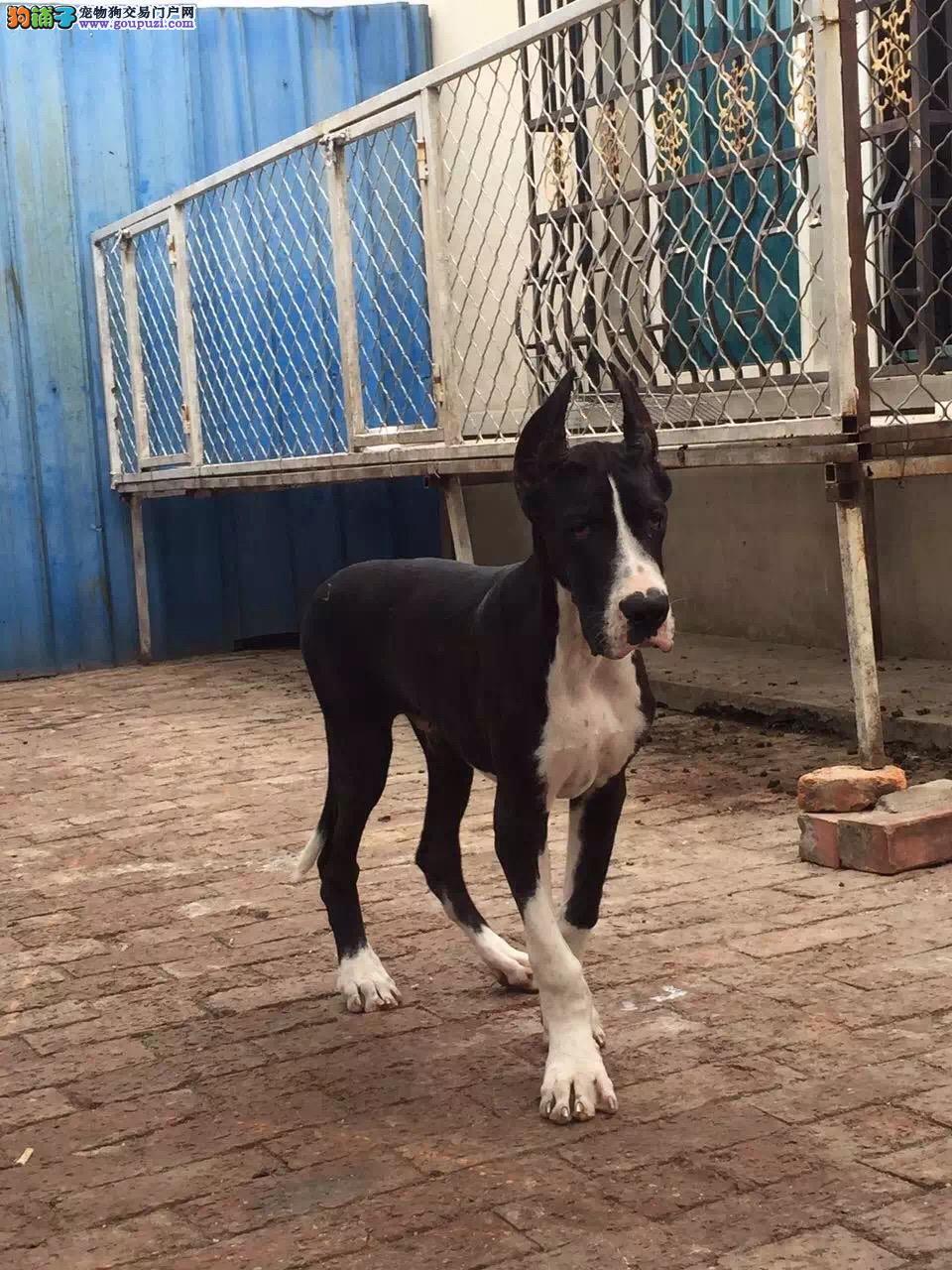 大丹犬最大的正规犬舍完美售后下单有礼全国包邮