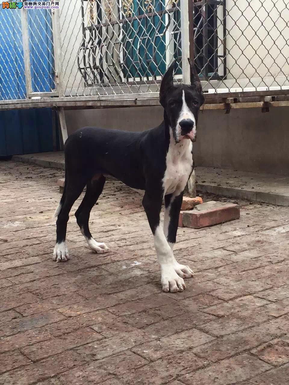 杭州出售大丹犬幼犬品质好有保障欢迎爱狗人士上门选购