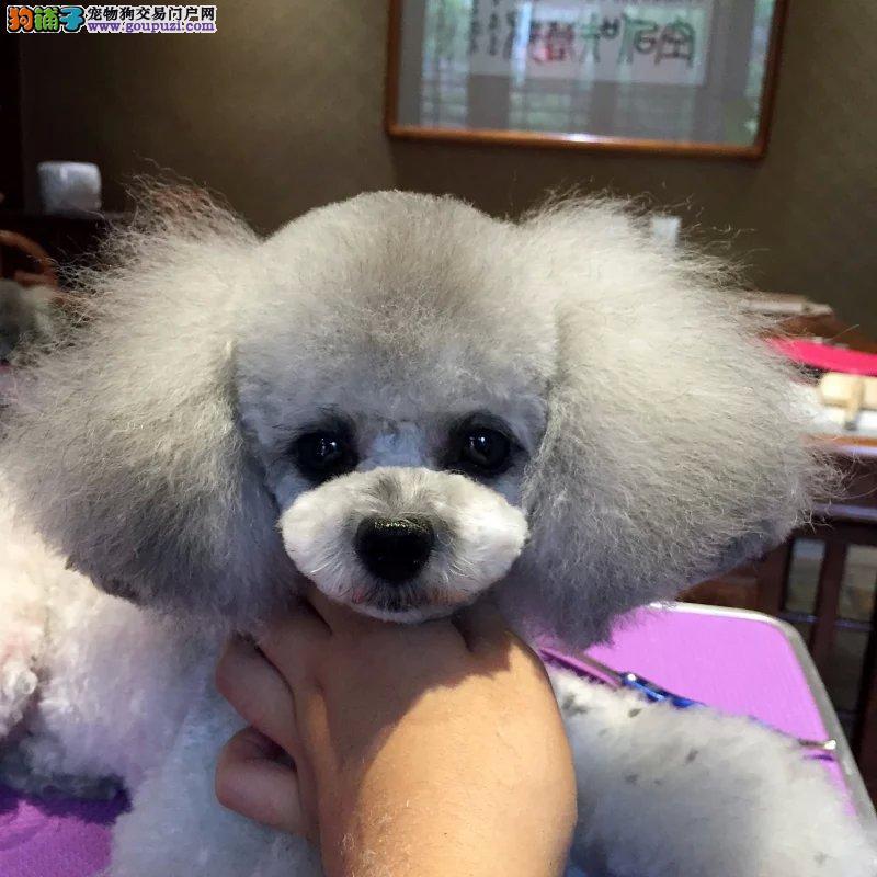 高品质小体泰迪幼犬,签协议包活包健康.多颜色可选.