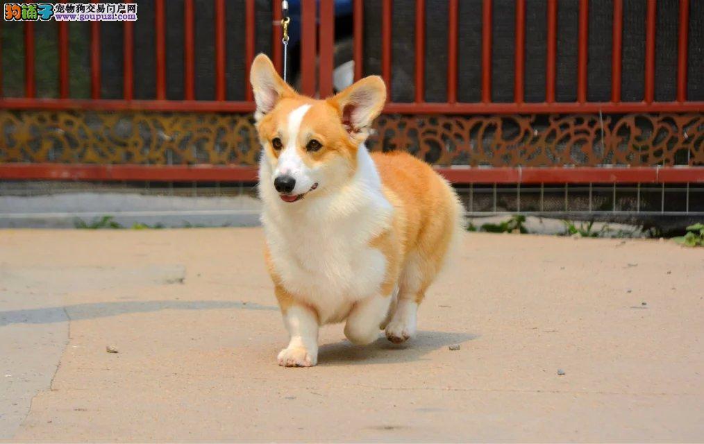 顶级 柯基。犬舍直销、让顾客买的优惠、放心和纯种。