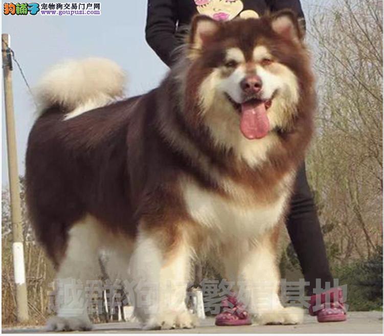 广东大型狗场直销巨型熊版阿拉斯加幼犬血统纯正