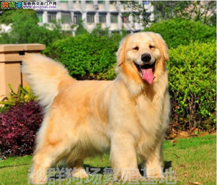 广东大型养狗场出售双血统金毛幼犬血统纯正