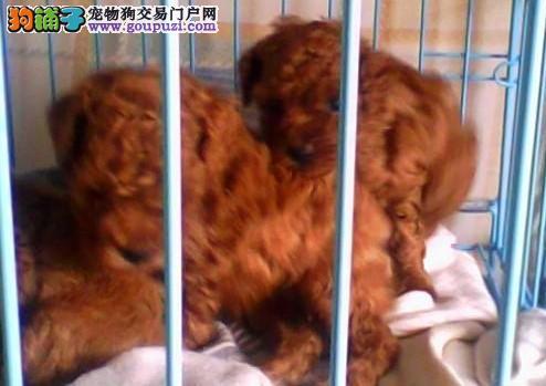 云南临沧本地哪家狗场在卖纯种泰迪犬纯种泰迪犬价格