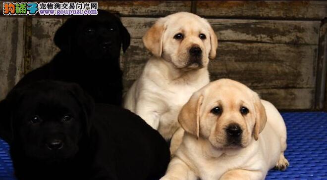 纯种拉布拉多小狗价格一般多少钱