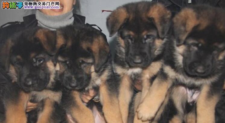 纯种小狼狗价格那里可以买到纯种小狼狗