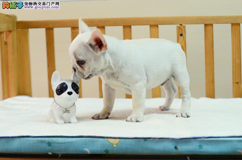 大鼻筋法国斗牛犬出售 憨厚可爱 疫苗打好 身体健康