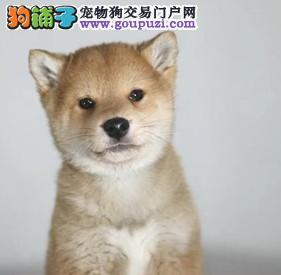 出售纯种健康的柴犬幼犬 活泼靓丽