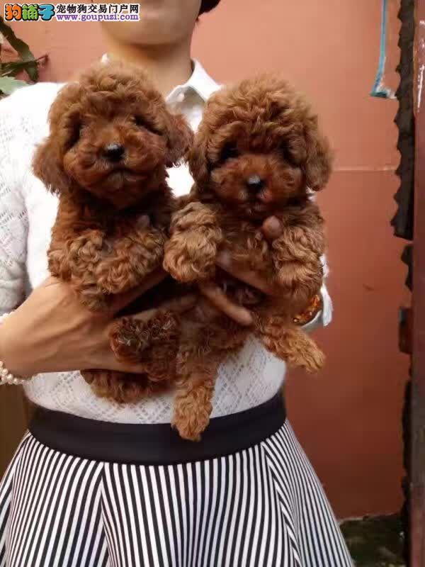 文山买狗、文山什么地方卖狗、泰迪犬价格