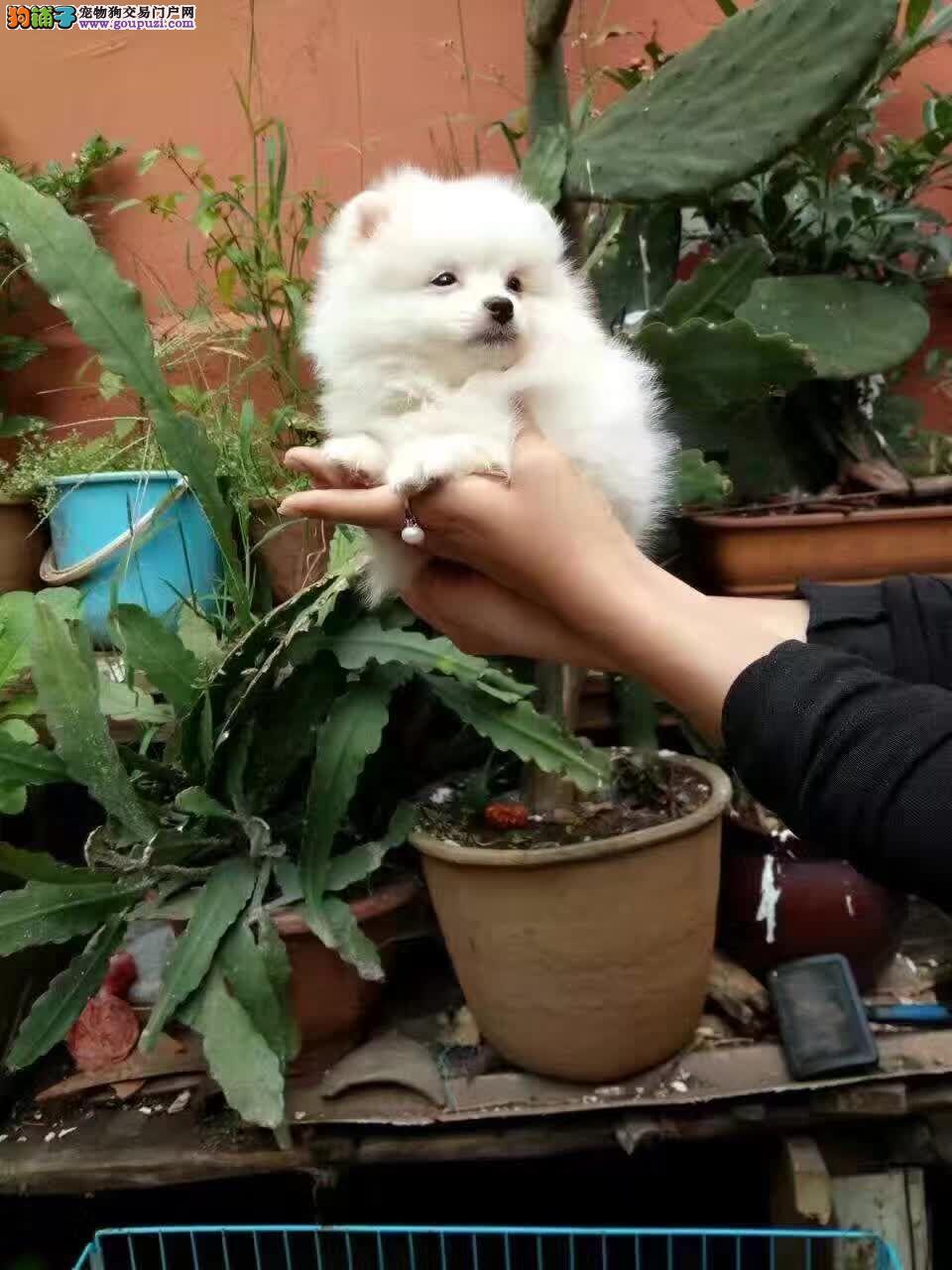 海南卖狗、狗场出售纯种博美犬
