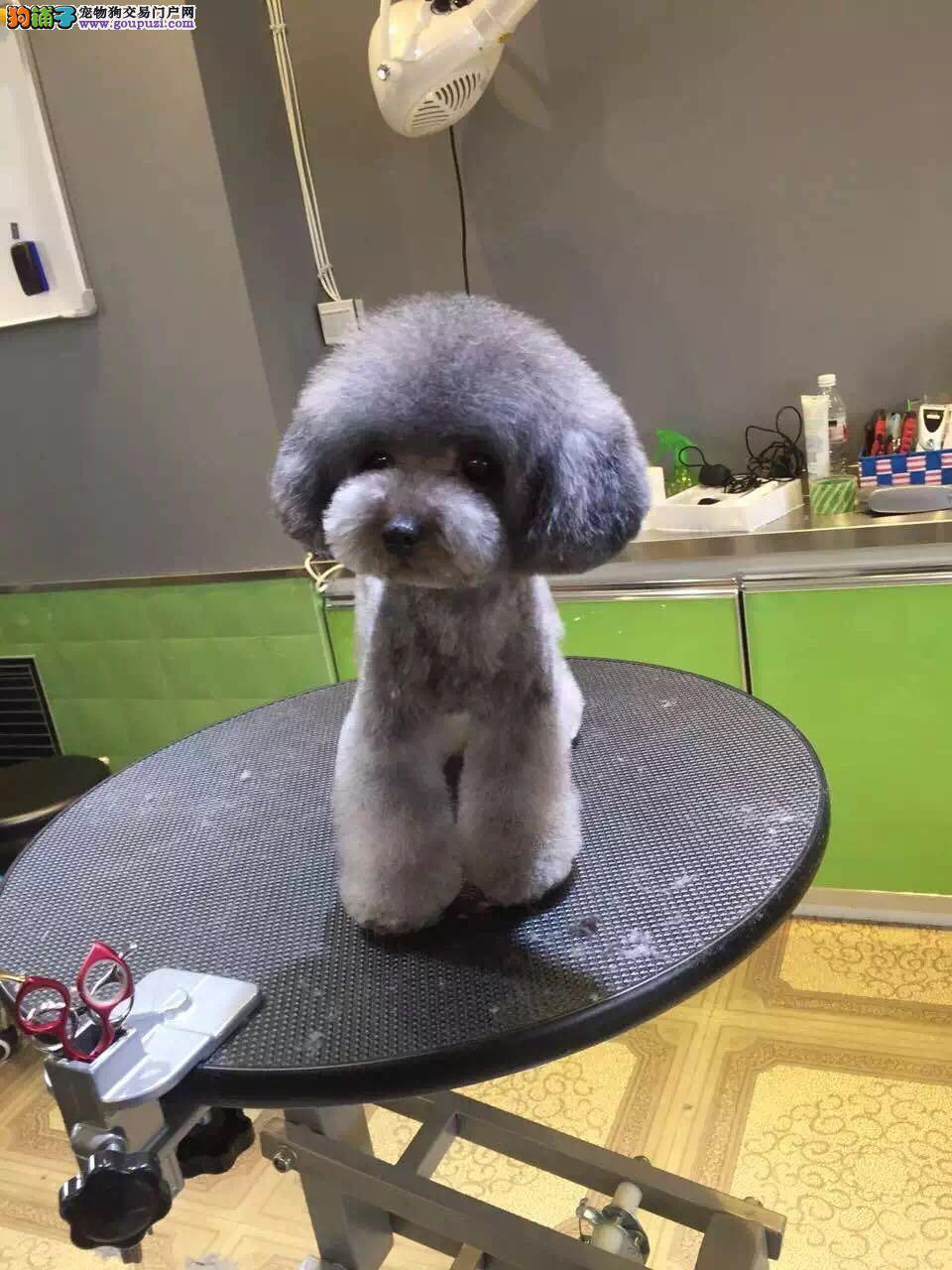 最靓泰迪在北京伟达犬业 签协议送货上门