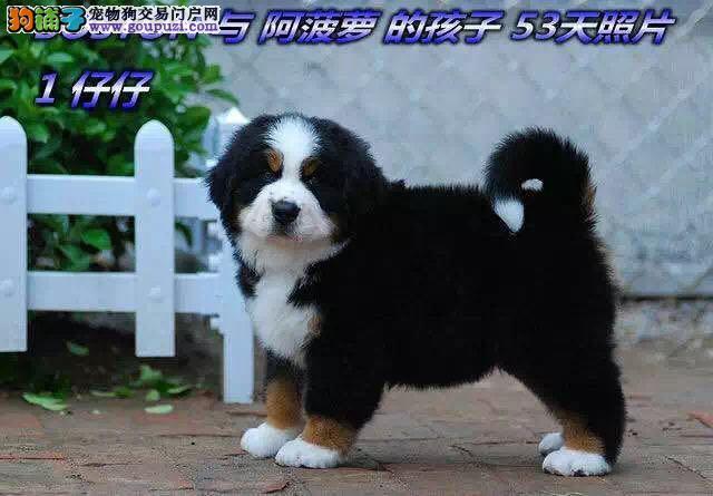 高贵绅士瑞士伯恩山犬,瑞士国犬