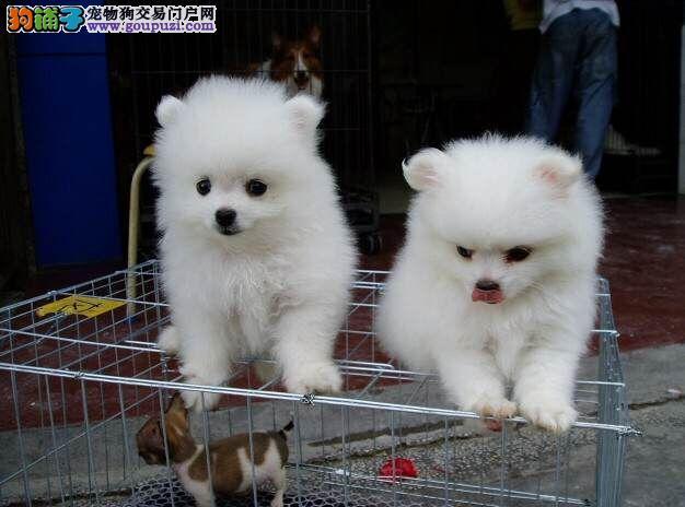 百色哪里卖博美百色买博美百色狗场常年出售纯种博美