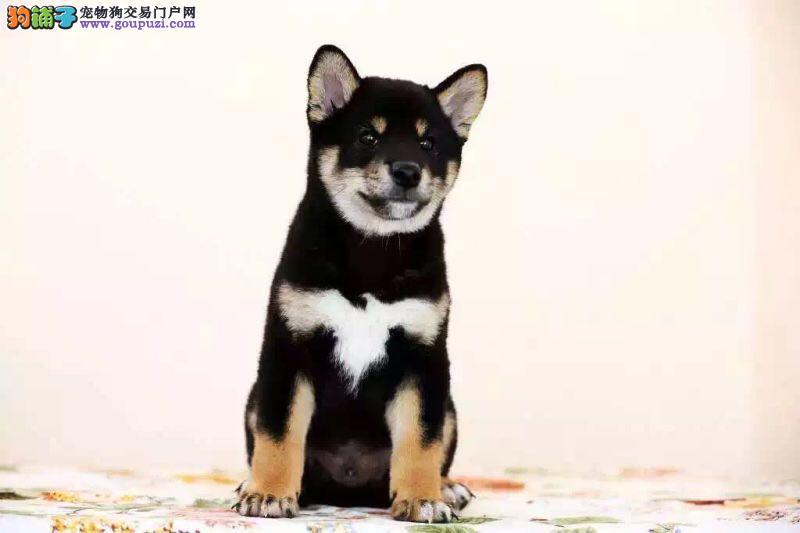 习性聪明,身体清洁的柴犬出售体型较小但护卫性强较容