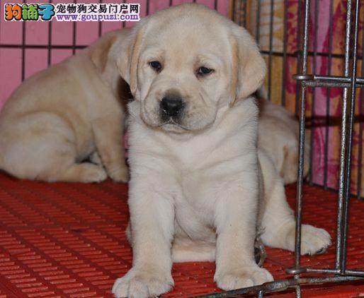 拉布拉多纯种幼犬 大头大骨架嘴宽