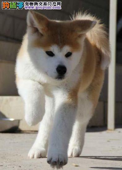 秋田犬、实物拍摄,正规犬舍,签质保协议,三联质保