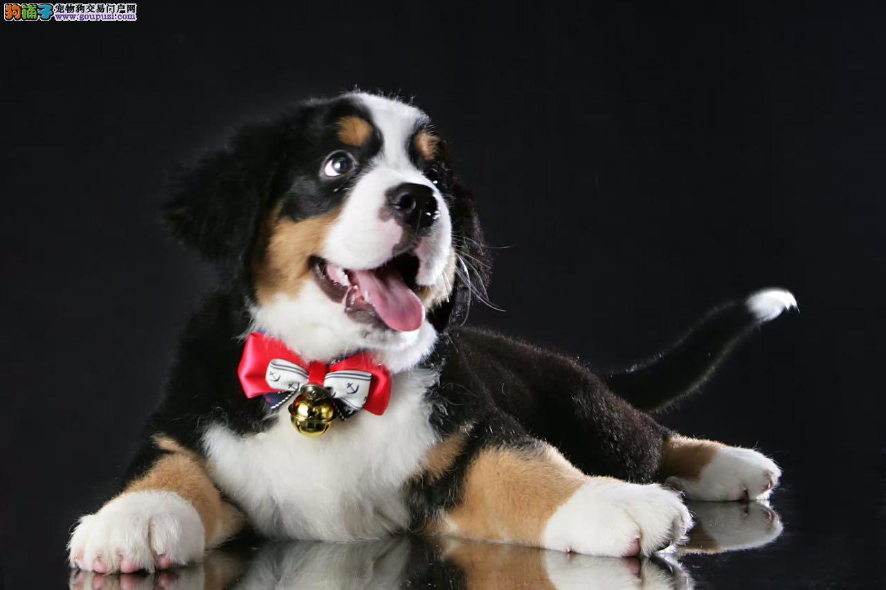 实物拍摄。自家犬舍繁殖纯种伯恩山犬,幼犬保健康