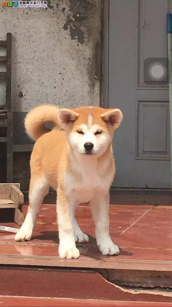 出售秋田犬 纯种秋田犬日系秋田幼犬出售