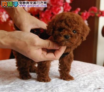 出售聪明伶俐贵阳茶杯犬品相极佳冠军级血统品质保障