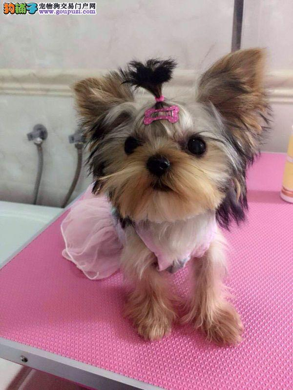 出售纯种约克夏幼犬 约克夏宝宝 可上们挑选