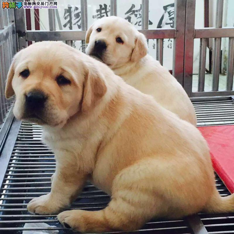 赛级拉布拉多犬、寻找属于你自己的神犬小七