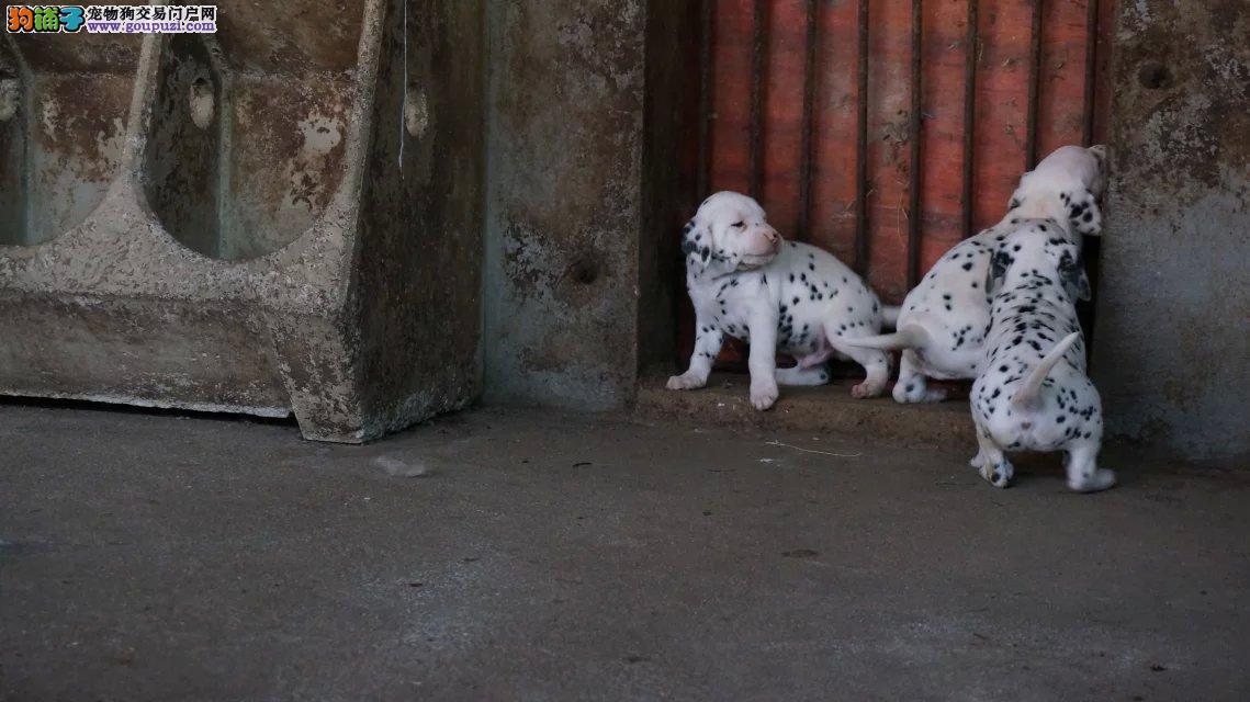 犬舍出售精品斑点幼犬 疫苗驱虫已做完