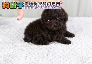 韩系家养精品泰迪熊犬 玩具型泰迪 纯种健康质保