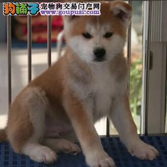 犬犬名宠 出售一窝正宗日系秋田 品质好 血统好 高质量