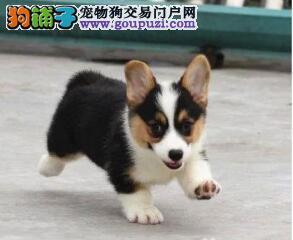 名宠犬业出售特价柯基犬 威尔士柯基犬 女王最爱