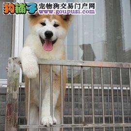 日系纯种秋田犬。实物拍摄正规犬舍常年繁殖带证书