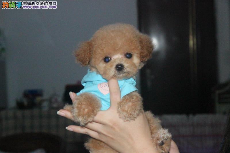 纯种泰迪犬,自家犬舍繁殖,实物拍摄健康质保