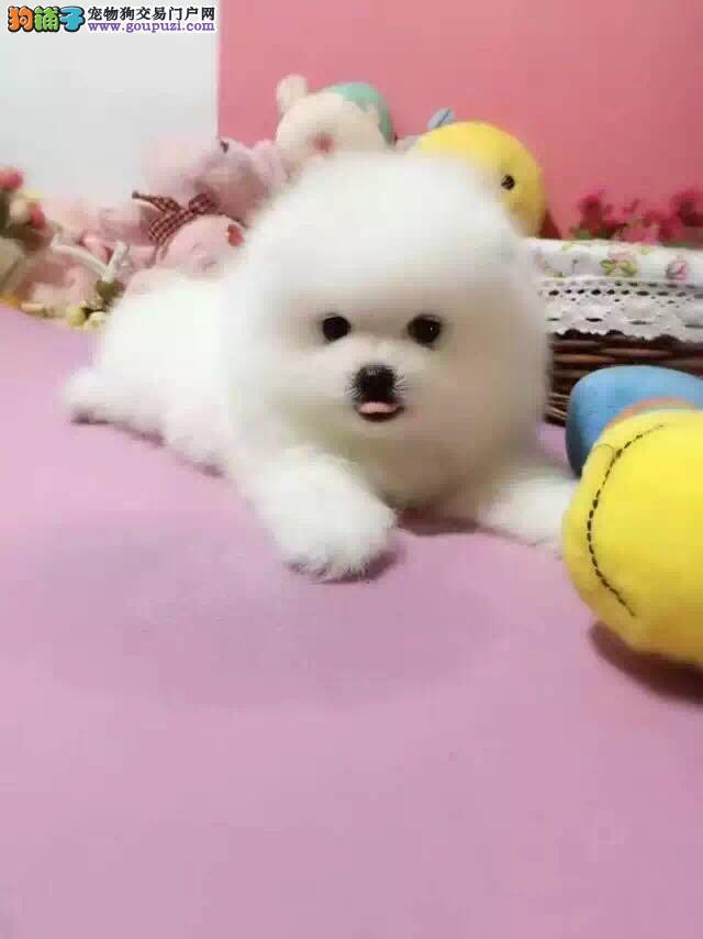 嘉伟国际犬业 出售赛级高品质 博美幼犬!