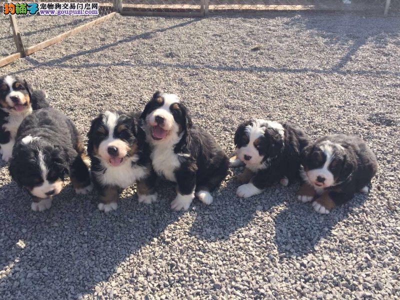 出售纯正伯恩山犬疫苗齐全 保证健康