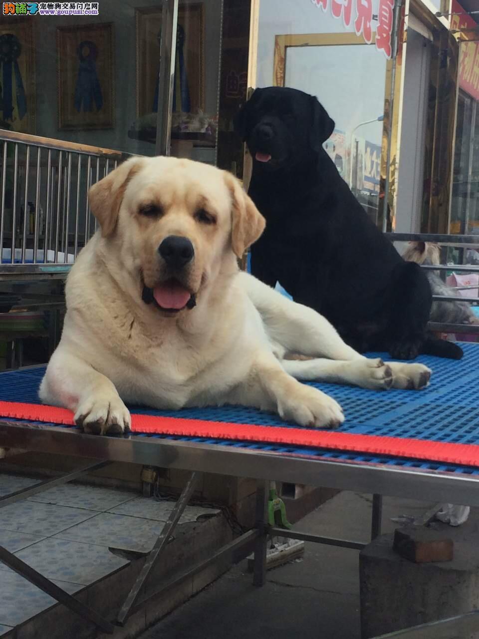 奶白色、黑色拉布拉多犬出售,高品拉布拉多犬