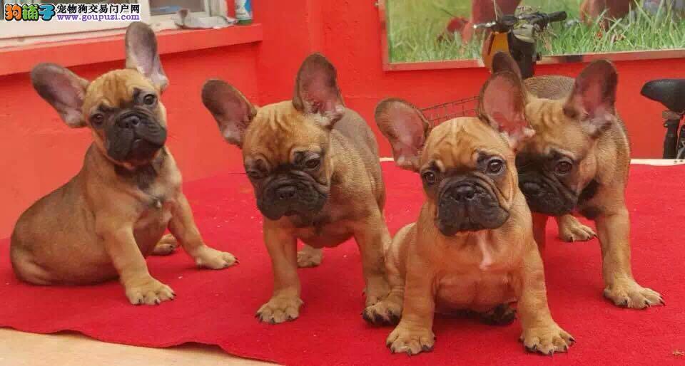法牛幼犬签订协议 视频看狗