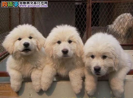大白熊犬,骨量粗壮。可发货,国内包邮