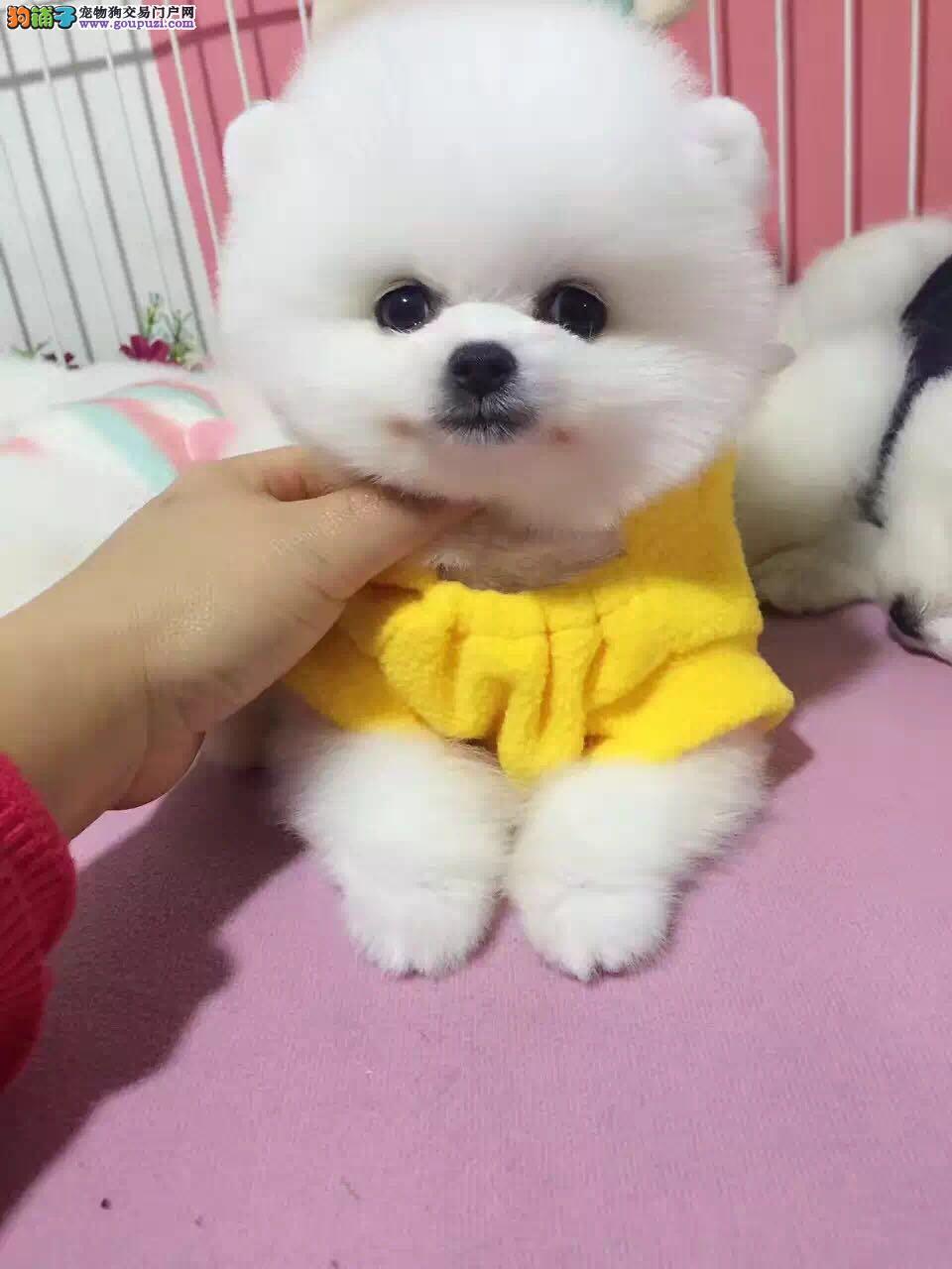 纯血统球体博美,俊杰,幼犬, 超可爱 。血统纯正