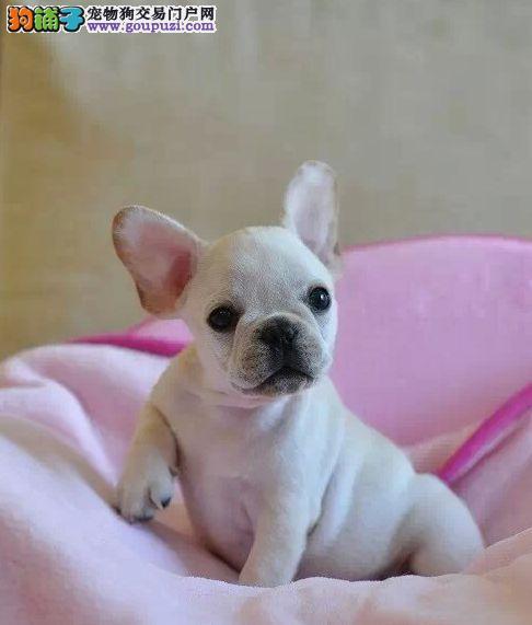 CKU国家认证,纯血统, 法牛幼犬精品出售,可视频选