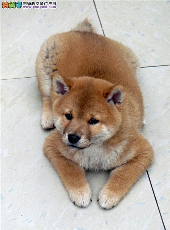 纯种日本小柴犬,品相好。支持视频看狗