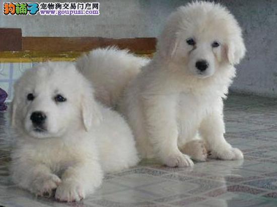 纯种大白熊,幼犬,防疫驱虫做好,可以看视频选狗