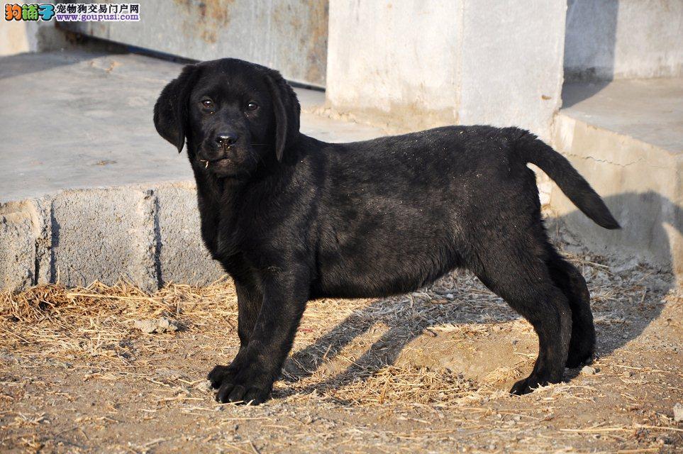 专业繁殖精品纯种拉布拉多幼犬,证书全