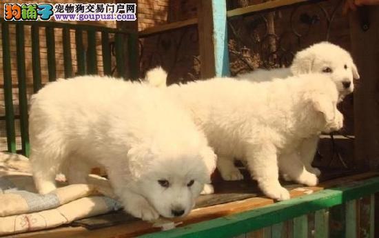纯种大白熊,性格温柔,骨量大毛量足,全国包邮