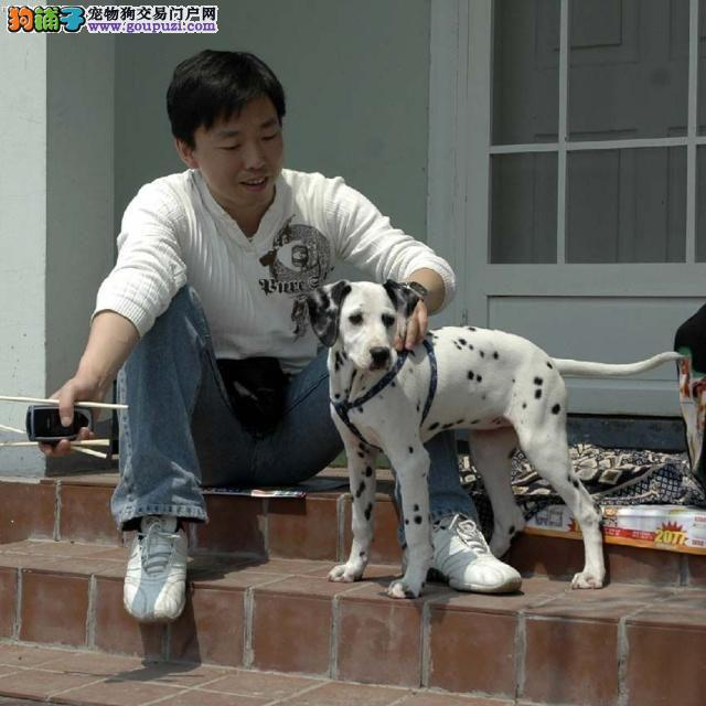 大麦町犬,幼犬出售,三针做完,可视频选